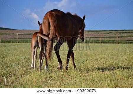 Arabic horse ,  horse race , Horse and baby, colt, farm,  stud farm , stud farm