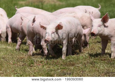 Little pigs piglets graze free on the farm summertime. Group of small pigs eating fresh green grass on the meadow