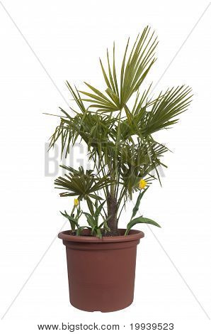 Palm Tree And Two Tulip Flowers In A Pot