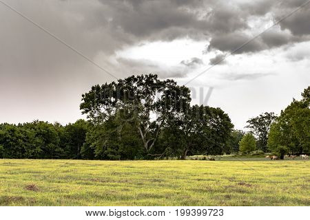 Landscape view of a sourthern pasture with large Live Oaks with cattle in the background