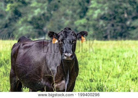 Black Angus brood cow from the chest up to the left with blank area to the right