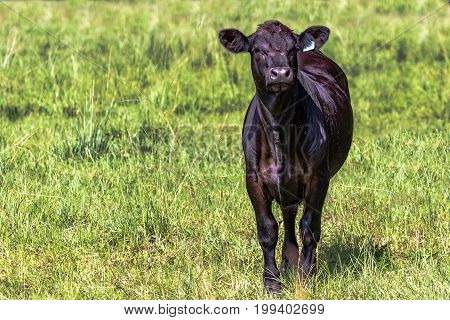 Black Angus calf to the right with a background of green grass