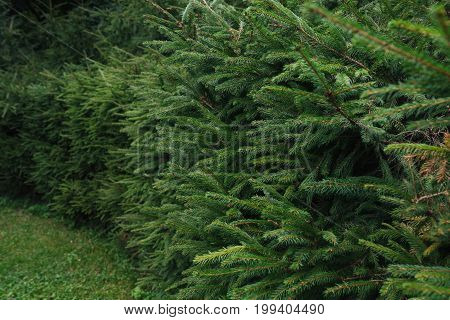 A hedge, a wall of spruce, a background, a texture