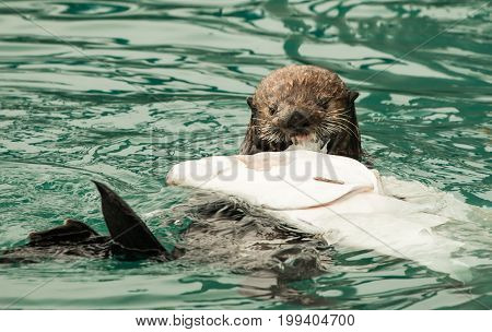 Cute Sea Otter feasting on a Halibut carcass in blue green water