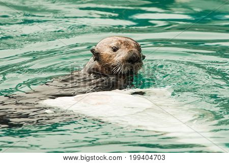 Cute Sea Otter holding Halibut fish carcass in blue green water