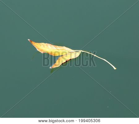 Yellow leaf on the water . A photo