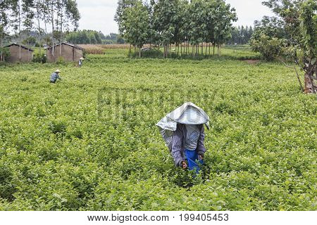 Hengxian, China - August 10, 2017: Woman Picking Jasmine Flowers In A Jasmine Plantation In Hengxian