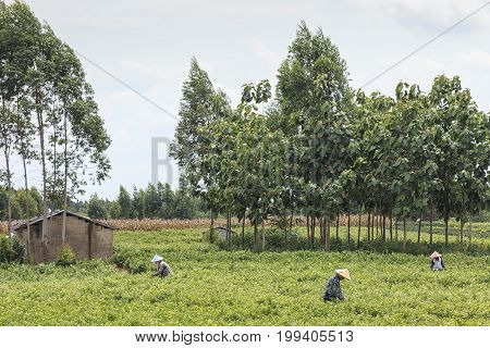 Hengxian, China - August 10, 2017: People Picking Jasmine Flowers In A Jasmine Plantation In Hengxia
