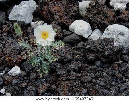 White flower growing out of white coral and lava rock beach close-up macro on coast of Maui near Kihei in Ahihi-Kinau Natural Area Reserve Hawaii USA