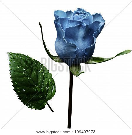 Light blue rose on white isolated background with clipping path. No shadows. Closeup. A flower on a stalk with green leaves after a rain with drops of water. For flowers design. Side view. Nature.