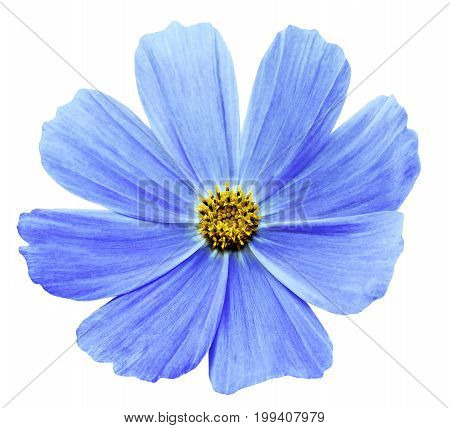 Light Blue flower Kosmeja white isolated background with clipping path. No shadows. Closeup. Nature.