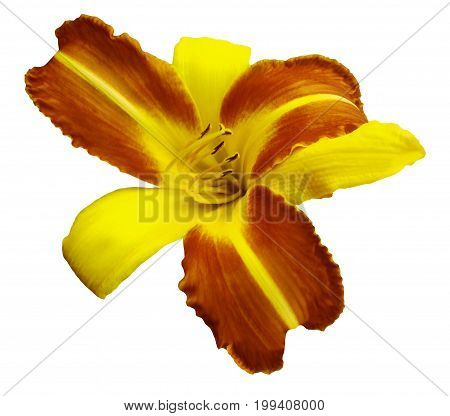 Yellow-orange flower lily on white isolated background with clipping path no shadows. Closeup. Nature.
