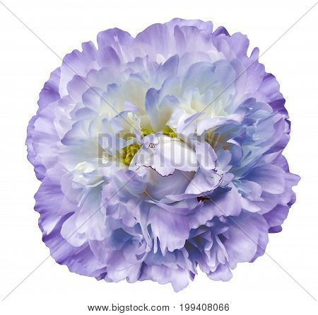 Peony flower purple on a white isolated background with clipping path. Nature. Closeup no shadows. Garden flower.