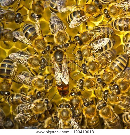 Life and reproduction of bees. Queen bee lays eggs in the honeycomb.