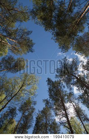 Pines birches crowns forrest environment mixed wood