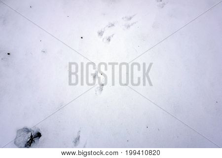 The footprints of an eastern cottontail rabbit (Sylvilagus floridanus) are visible in the snow in the Rock Run Preserve of Joliet, Illinois, during January.