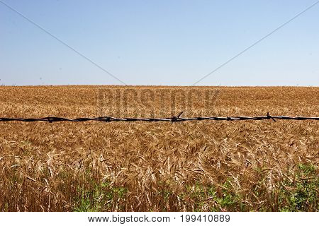 Oklahoma amber waves of grain through the view of a fence