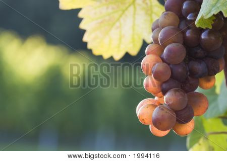 Grapes In The Evening Sun
