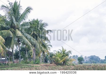 Rice Field On A Tropical Island Of Bali, Indonesia. Asian Green Terrace Land.