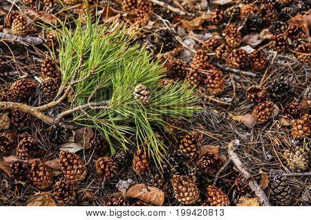 Pine branch with green needles and cones lying on the ground