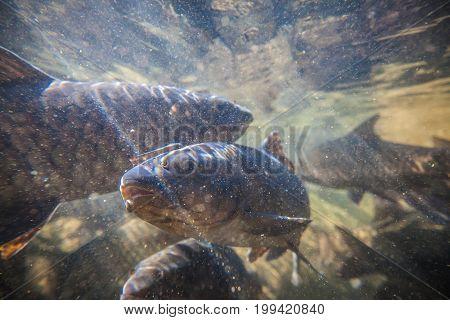 Soro Brook Carp Fish Shoot Under The Waterfall On Namtokphlio National Park Chanthaburi At Thailand.
