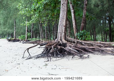 Roots Of Tree Standing Dead Because Erode By Seawater On The Beach.