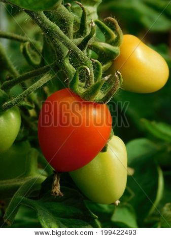 Ripening cherry tomatoes on a branch in a greenhouse