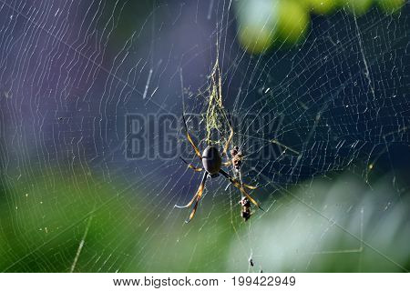 Golden Orb-weaving Spider (nephila Plumipes)