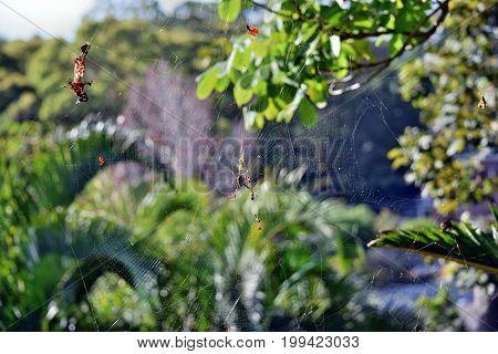 Golden Orbweaver Spider (nephila Plumipes)