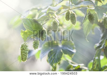 Fresh Hops In The Sun