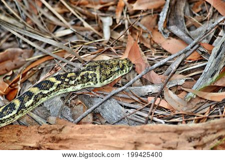 Australian Snake Coastal Carpet Python ( Morelia Spilota Mcdowelli)