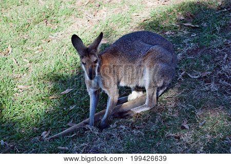 Young Cute Wild Red Kangaroo