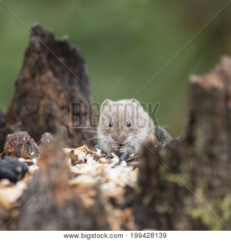 Bank Vole Rodent Myodes Glareoleus In Decaying Tree Stump In Forest Landscape