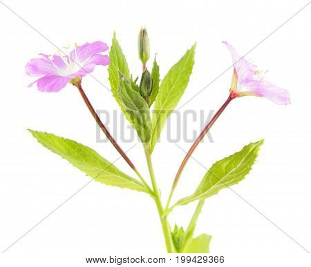 Great hairy willowherb (Epilobium hirsutum) isolated on white background. Close-up of the pink flowers