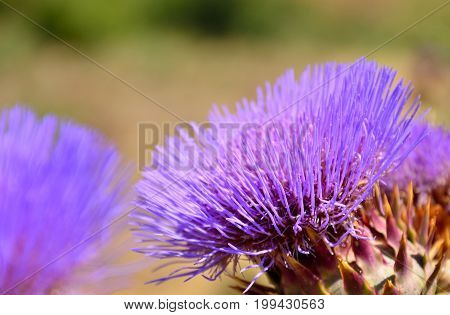 Wild artichoke flower in foreground, cynara cardunculus, early summer