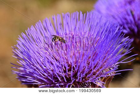 Small wasp on wild artichoke flower in full splendor