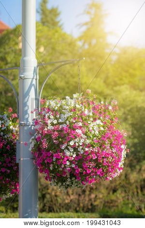 Large and beautiful hanging basket pots with blooming vibrant pink and white petunia surfinia and geranium flowers with soft light overlay