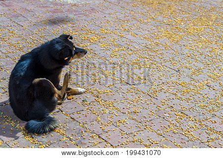 Black dog on the surface of scattered Maize or Corn.Maize was given to the Pigeons at the Temple.