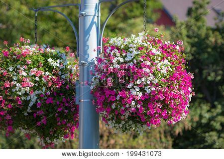 Large and beautiful hanging basket pots with blooming vibrant pink and white petunia surfinia and geranium flowers