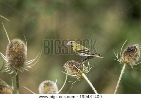 Beautiful Siskin Bird Spinus Spinus On Teasels In Forest Landscape Setting