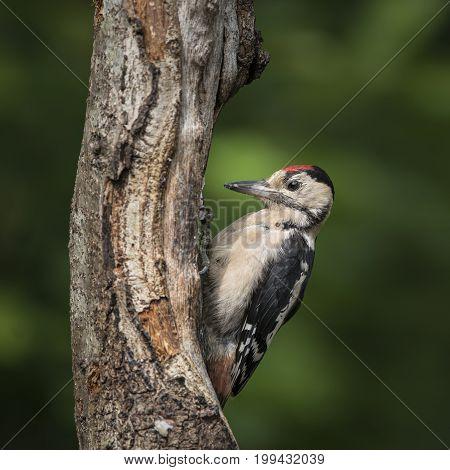 Beautiful Great Spotted Woodpecker Bird Dendrocopos Major On Tree Stump In Woodland Landscape Settin