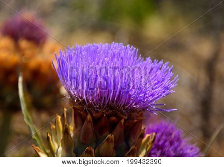 Splendid flower of wild artichoke in foreground, early summer