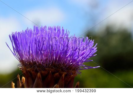 Isolated flower of wild artichoke in early summer