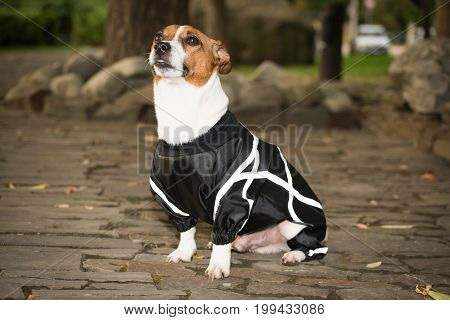 Little dog in clothes for a walk