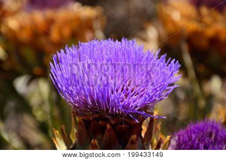 Flower head of wild artichoke in full bloom