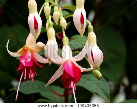 Fuchsias flowers flower flora nature red white summer botany