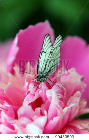 Butterfly on a pink peony flower. California