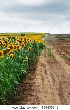 vertical perspective view of edge of sunflower field near a dirt road with clouds above in summer