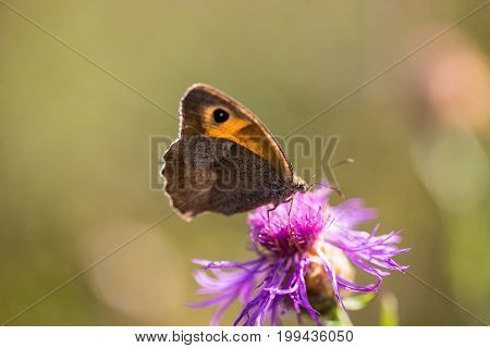 Thickhead butterfly  in summer, nature, rare, wild