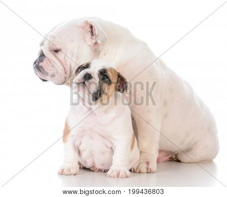 mother and son bulldogs on white background